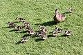 Goslings - Grafham Water April 2009 (3638896537).jpg