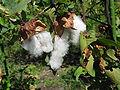 Gossypium arboreum2.jpg