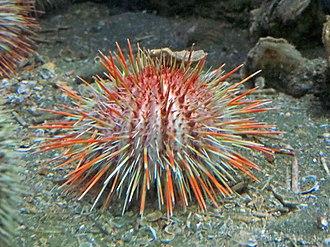 Echinidae - Image: Gracilechinus acutus