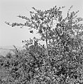 Granaatappels aan de boom, Bestanddeelnr 255-4268.jpg