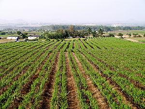 Image:Grape vineyards Viticulture Farming Sula winery Nasik Maharashtra India