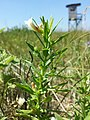 Gratiola officinalis sl11.jpg