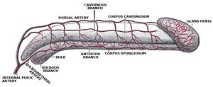 tronco del pene inflamado