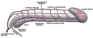Helicine arteries of penis