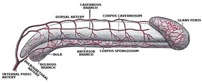 penetracja penisa na organy
