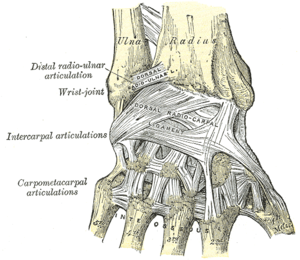 Ligaments of wrist. Posterior view.