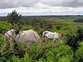 Grazing ponies on Hampton Ridge, New Forest - geograph.org.uk - 477417.jpg