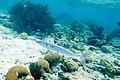 Great barracuda Sphyraena barracuda (4676844950).jpg