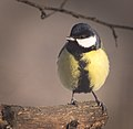 Great tit (32584157746).jpg