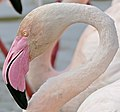 Greater Flamingo (Phoenicopterus roseus) portrait - Flickr - berniedup.jpg