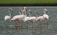 Greater Flamingoes (Phoenicopterus roseus) W2 IMG 0072