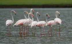 Greater Flamingoes (Phoenicopterus roseus) W2 IMG 0072.jpg