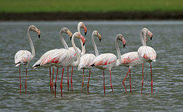 Greater Flamingoes (Phoenicopterus roseus) W2 IMG 0072
