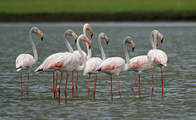 Greater Flamingoes (Phoenicopterus roseus) W2 IMG 0072.jpg