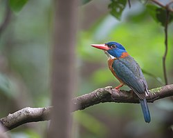 Green-backed Kingfisher (Male).jpg