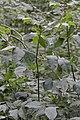 Green Ash (Fraxinus pennsylvanica) - Kitchener, Ontario.jpg