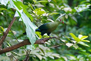 Livingstone's turaco - Image: Green in the trees