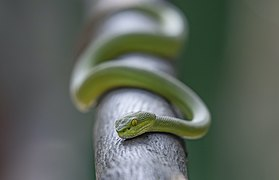 Green snake in a tree.jpg