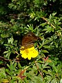 Grenchen - Maniola jurtina on yellow flower.jpg