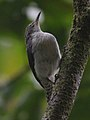 Grey-mantled Wren.jpg