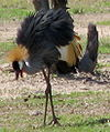 Grey Crowned Crane – Luangwa National Park - Zambia-1.jpg