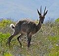 Grey Rhebok (Pelea capreolus) (32453042900).jpg
