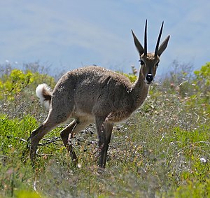Grey rhebok - A male at the Bontebok National Park, Western Cape, South Africa