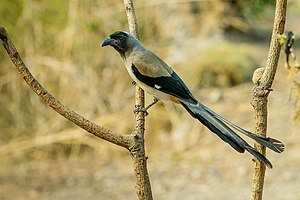 Grey treepie - Individual from Sattal India