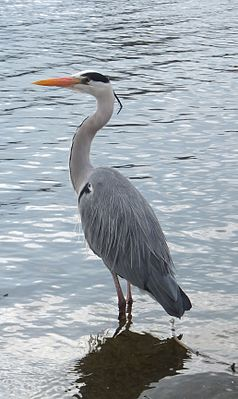 Grey heron in Hyde Park (cropped).jpg