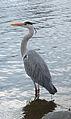Grey heron in Hyde Park (cropped).jpg