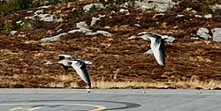 Greylag geese in flight at Fedje.JPG