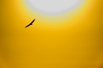 Griffon vulture - Griffon vulture soaring against a summer sunset.