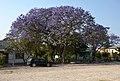 Grootfontein a strom Jacaranda - Namibie - panoramio.jpg