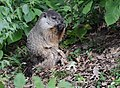 Groundhog (23810724058).jpg