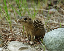 Groundsquirrel4-300.jpg