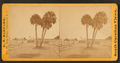 Group of palmetto trees, near Fort Moultrie, Sullivan's Island, S.C, by Barnard, George N., 1819-1902.png