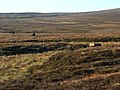 Grouse butts near Rowting Burn - geograph.org.uk - 621020.jpg