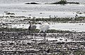 Grus canadensis (Sandhill Crane) 42.jpg