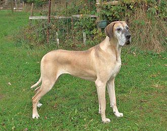 Great Dane - Fawn Great Dane (female)