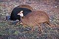 Guinea fowl, Kruger National Park (14979270571).jpg