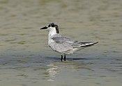 Gull-billed Tern in Koonthalulam, India, by Dr. Tejinder Singh Rawal.jpg