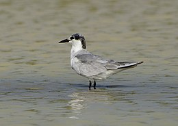 Gull-billed Tern in Koonthalulam, India, by Dr. Tejinder Singh Rawal.jpg