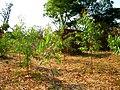 Gum tree (5567539526).jpg