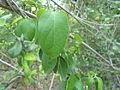 Gymnema sylvestre medicinal herb at Kambalakonda Visakhapatnam.JPG