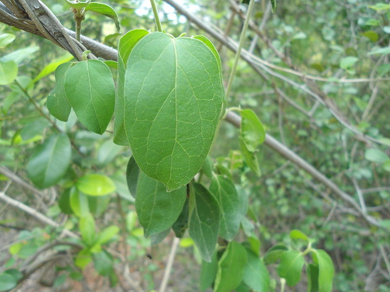 File:Gymnema sylvestre medicinal herb at Kambalakonda Visakhapatnam.JPG