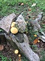 Gymnopilus chrysopellus 846266.jpg