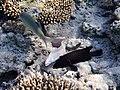Gymnothorax pictus.Мурена белая (перечная) и барабульки.DSCF5999BE.jpg