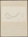 Gymnotus electricus - 1774-1804 - Print - Iconographia Zoologica - Special Collections University of Amsterdam - UBA01 IZ15100119.tif