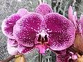 HK 中環 Central 國際金融中心商場 IFC Mall 紫色蝴蝶蘭花 purple butterfly orchid flowers January 2020 SSG 04.jpg