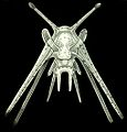 Haeckel Amphoridea-10.jpg